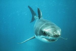 Great White / White / White Pointer SHARK - swimming towards camera
