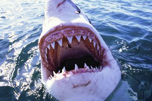Great White / White / White Pointer SHARK - C/U MOUTH