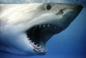 Great White / White / White Pointer SHARK - close up of head