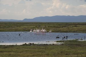 Greater Flamingo - flock in pool