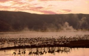 Greater Flamingos - feeding at the steamy hot spring waters of a