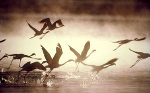Greater Flamingos - taking off from the steamy hot spring waters of a