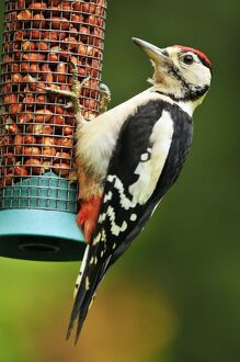 Greater Spotted Woodpecker - juvenile male on feeder
