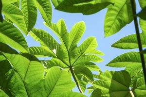 Green Tetrapanax leaves against blue background