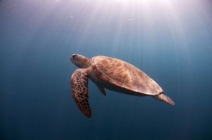 Green Turtle swimming in blue water with sun rays
