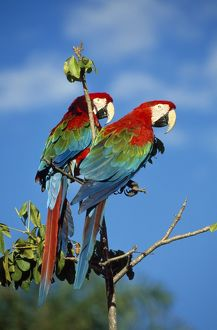 Green-Winged MACAW - X2 (red and blue colouring)