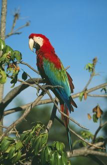 Green-winged / Red & Blue Macaw