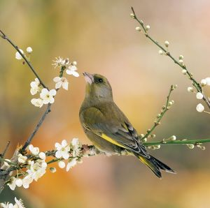 Greenfinch - perched in blossom tree