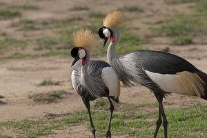 Grey Crowned Cranes - displaying