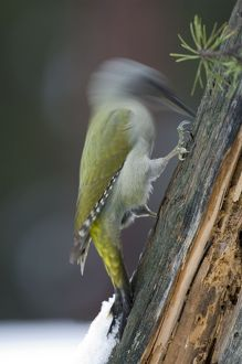 Grey-faced Woodpecker - female drumming