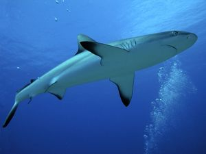 Grey Reef Shark - female.