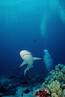 Grey Reef Shark - Shark coming towards camera showing mouth slightly open, breathing.