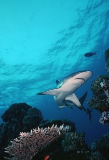 Grey Reef Shark - Shark swimming through coral reef in very clear water
