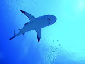 Grey Reef Shark - Swimming above the photographer.