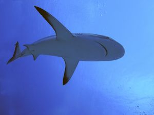 Grey Reef SHARK - There are thousands of these sharks living in the passes into the lagoons