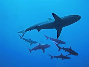 Grey Reef Sharks - These sharks live around coral reefs