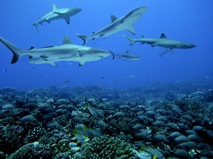 Grey Reef SHARKS - swim over a school of Paddletail / Humpback Snapper (Lutjanus