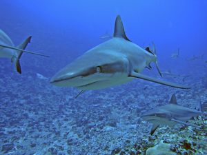Grey Reef SHARKS - There are thousands of these sharks living in the passes into the lagoons