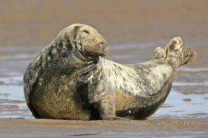 Grey Seal - adult grey seal resting on sand bank