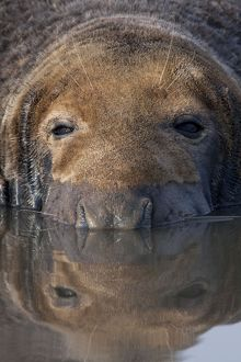 Grey Seal - bull lying in shallow water with reflection