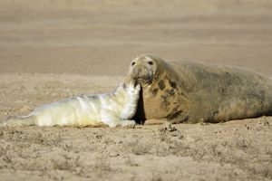 Grey Seal - cow with pup on beach, Donna Nook seal sanctuary