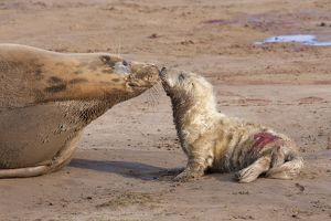 Grey Seal - cow on a sandy beach nose-to-nose with new born calf