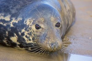 Grey Seal - female on beach during mating season