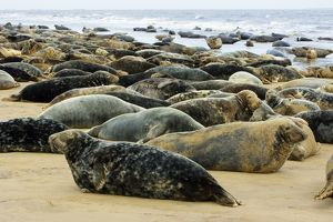 Grey Seal - herd resting on sand-bank
