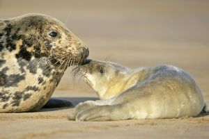 Grey Seal - mother and newborn pup taking stock of each other
