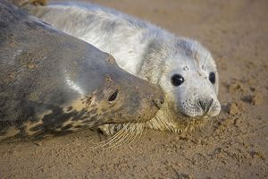 Grey Seal - mother and young interacting on beach
