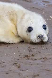 Grey Seal - newly born pup lying on sand.