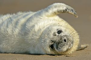 Grey Seal - portrait of pup stretching it's fin