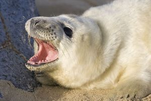 Grey Seal - pup on beach with mouth open