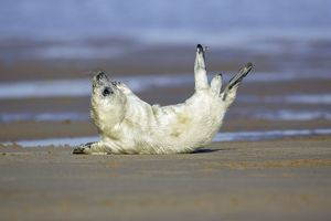 Grey Seal - pup on beach stretching itself