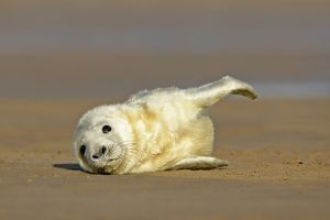 baby animals/grey seal pup lying sand bank stretching its