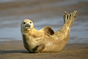 Grey Seal - resting on beach stretching it's body
