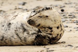 Grey seal - scratching his head on beach