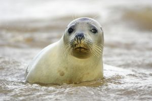 Grey Seal - young cow emerging from sea