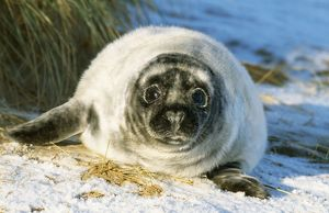 Grey Seal - Young on snow covered beach