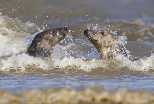 Grey Seals - playing in the surf