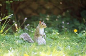 Grey Squirrel - among flowers in garden