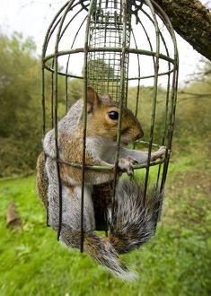 grey squirrel trapped inside squirrel proof bird