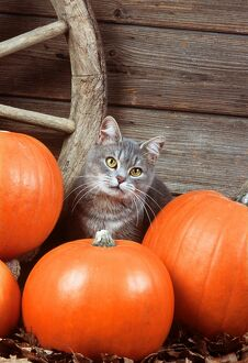 Grey tabby CAT - With Pumpkins