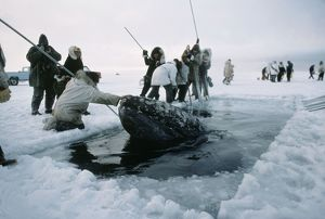 GREY WHALE - trapped in ice