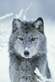 Grey Wolf - In snow with snowy face