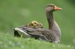 Greylag GOOSE - with goslings