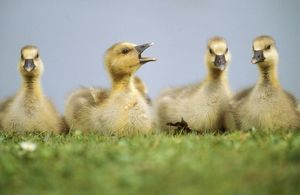 Greylag GOOSE - line of goslings resting, one with beak open