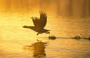 Greylag Goose - Taking Flight at Sunrise