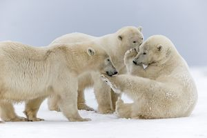 A group of three Polar Bear play together in the snow