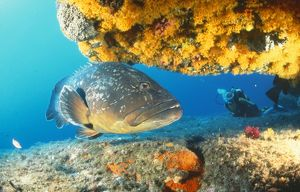 GROUPER by coral - with scuba diver